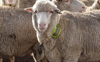 Helping to reduce Australian sheep mortality with digitanimal GPS for livestock