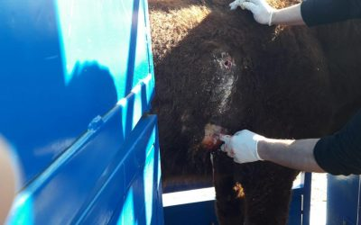 Our GPS collars help to save a cow's life in Bosnia and Herzegovina